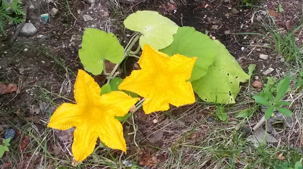 Flowers on a pumpkin plant proudly nurtured from seed by Jillian Page. (Photo: Jillian Page, July 30, 2015)