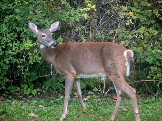 Most people see deer as beautiful, innocent creatures. But some see deer as nothing more than meat, and they delight in stalking them and murdering them -- wrenching them away from their offspring and forest friends. (Photo: Gil Paradis/Wikimedia Commons)