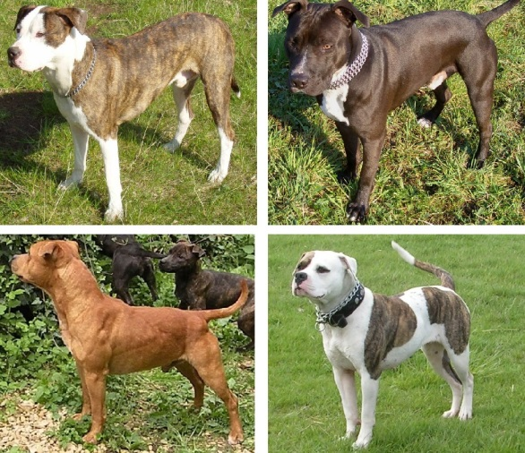 A selection of pit bull-type dogs, assembled from images from Wikimedia Commons. (Source: Wikipedia/Compiled by Oknazevad)