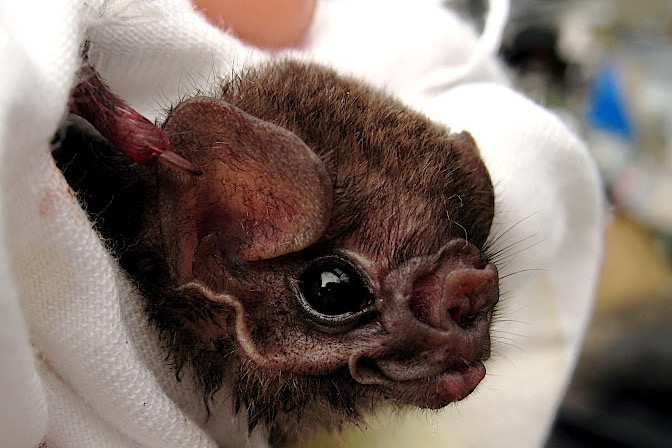 OMG! Vampire bats turning to humans for blood donations