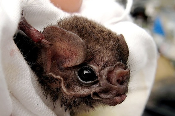 Hairy-legged vampire bat, Diphylla ecaudata, captured in Mexico. (Source: Gerry Carter/Wikimedia Commons)